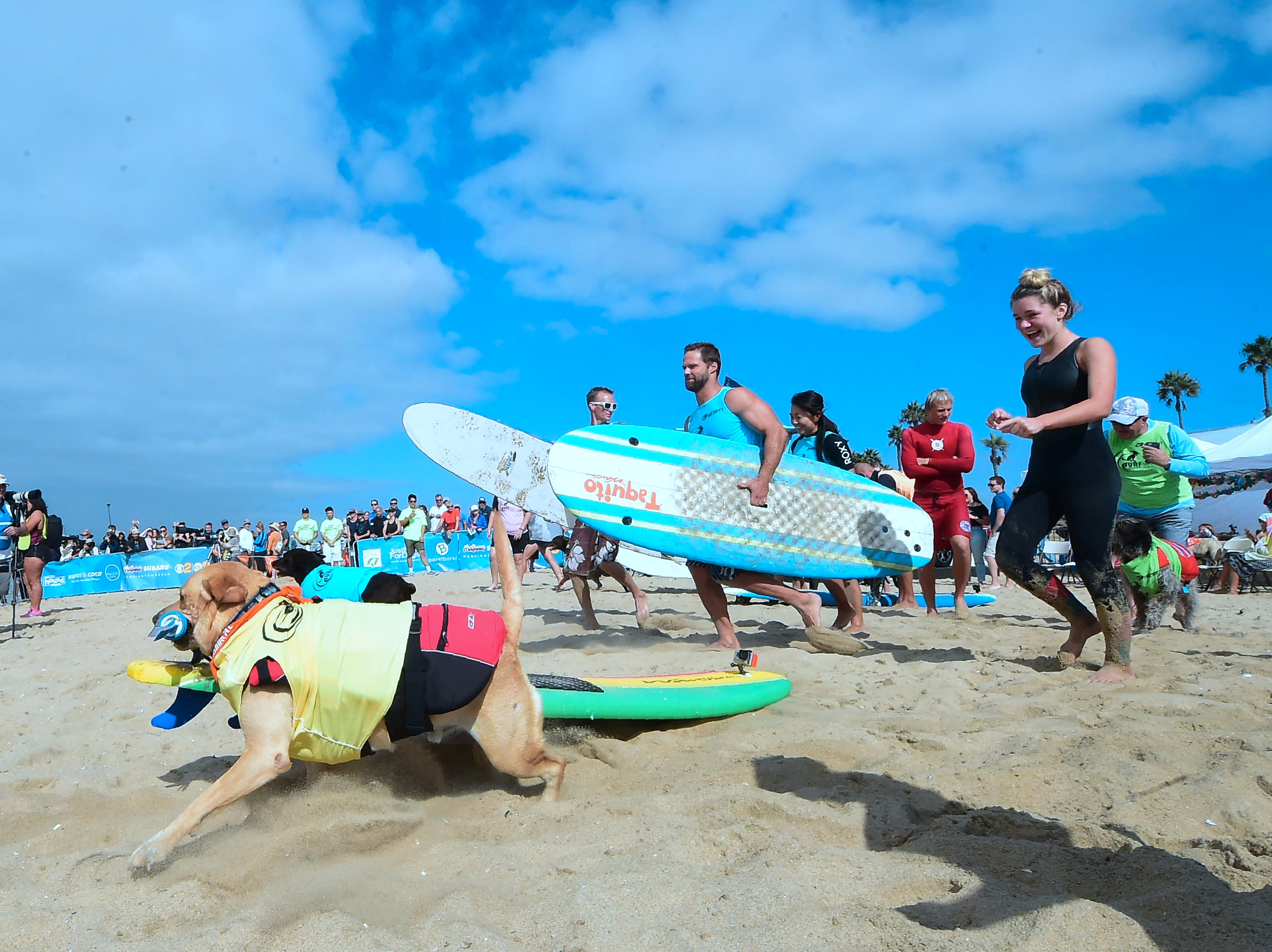 Surf Dog Maya carries her board as contestants rush to the water.
