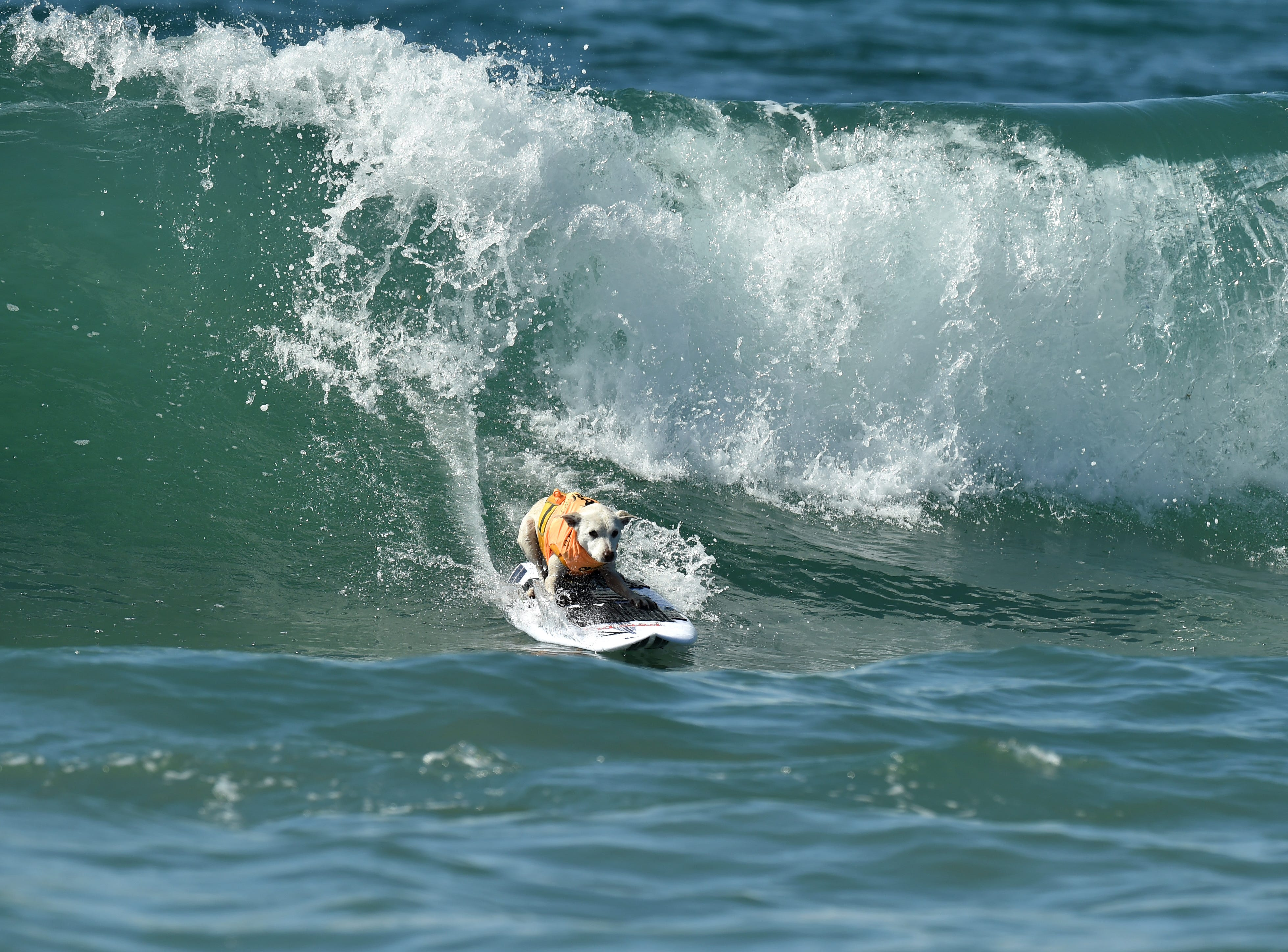 Sugar the surfing dog rides a wave during the competition.