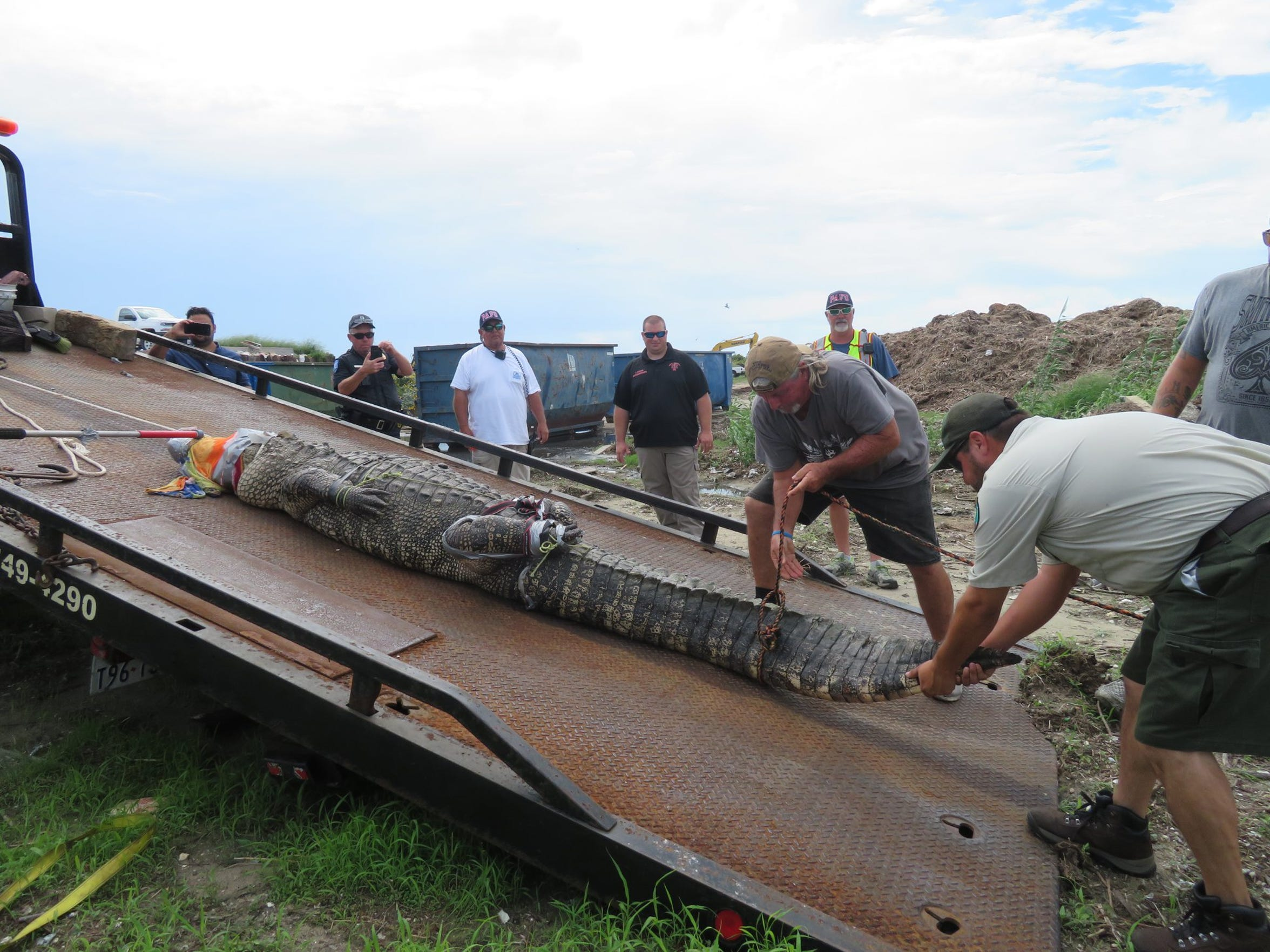 Alligator handlers slide a 12-foot gator off a flatbed wrecker truck after capturing it from a drainage canal near Station Street in Port  Aransas.