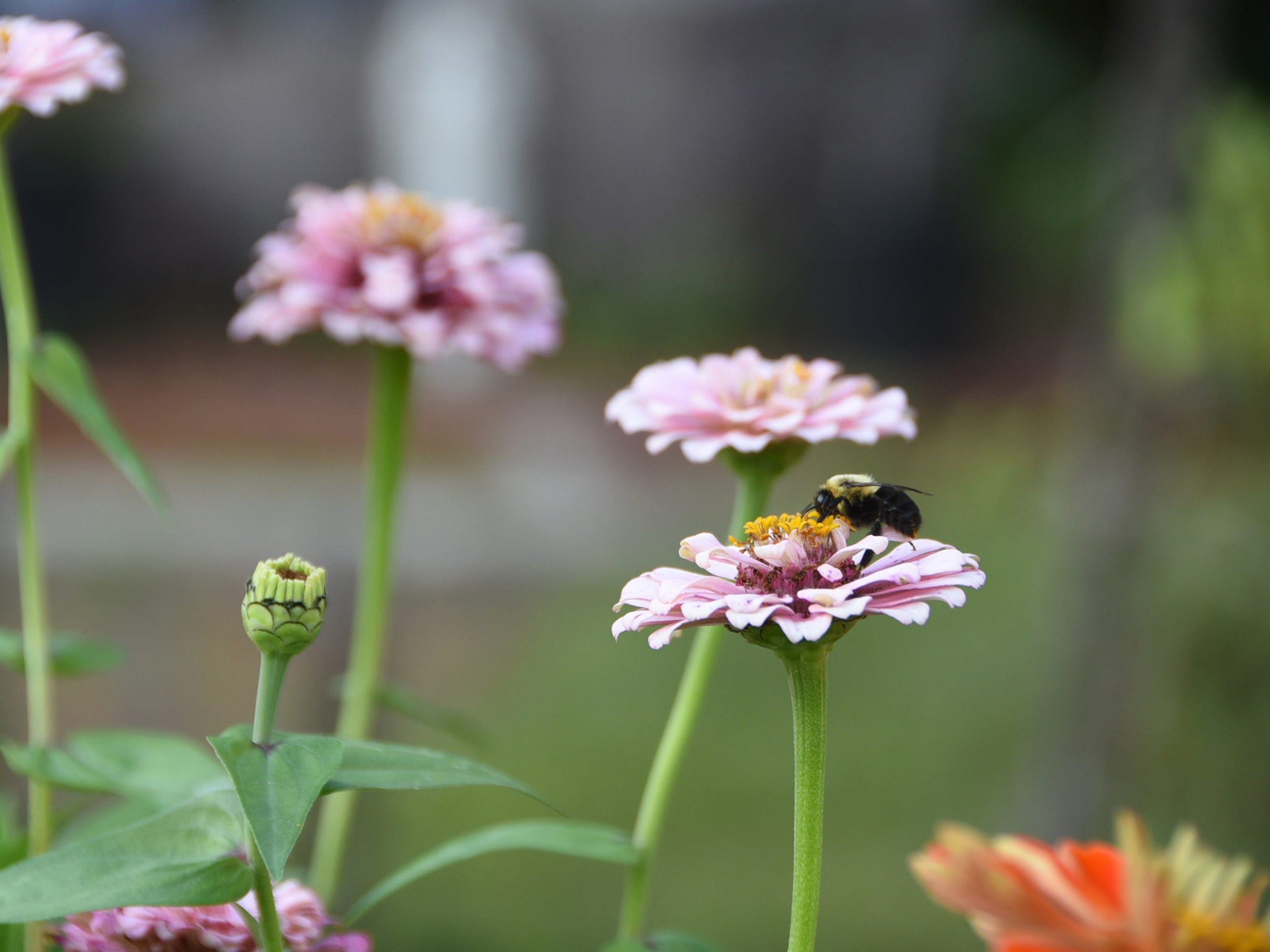 A bee sits on a flower in Eve's Garden in Camden during the #WasteNot for CFET event at the FireWorks Gallery in South Camden on Saturday, September 29, 2018.  The Courier-Post partnered with the Farm & Fisherman Tavern in Cherry Hill and other community organizations to hold the event that offered a special tasting, farm tour and community conversation about reducing food waste.