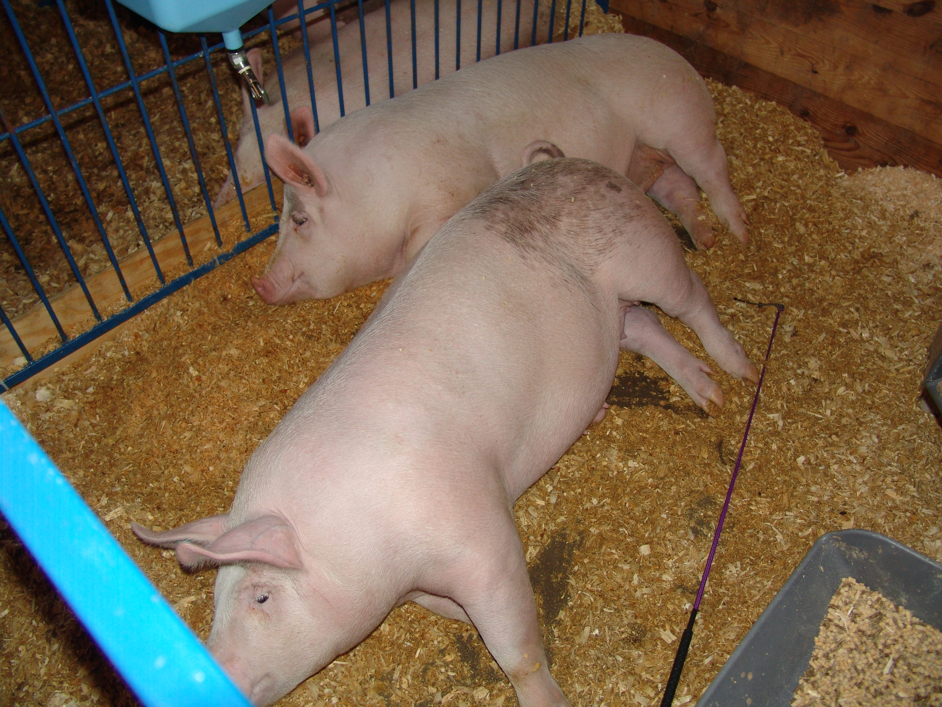 Two hogs rest in the hog barn before the Jr. Fair Hog Show Sunday at the Coshocton County Fair.