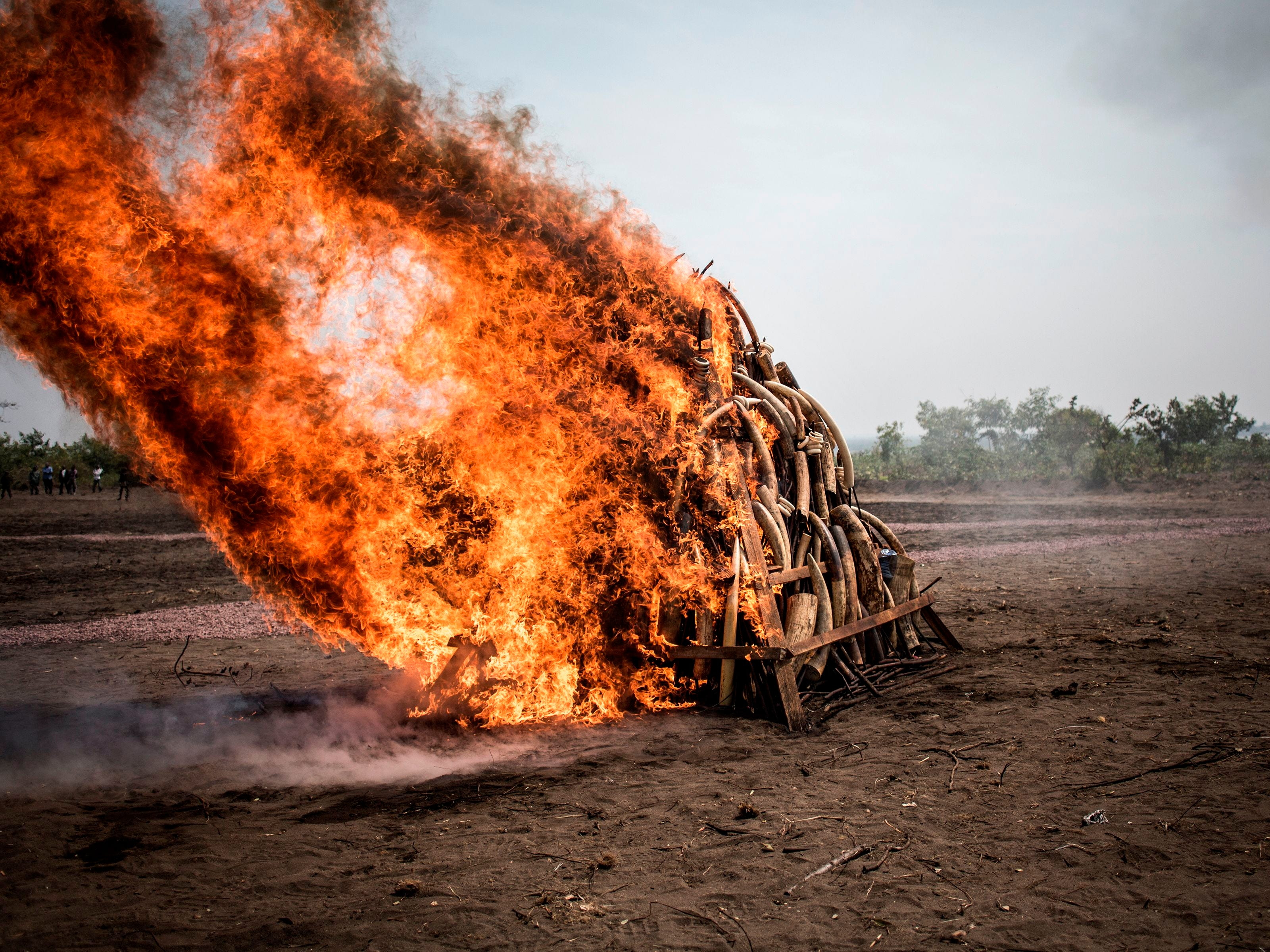 A pile of ivory burns during a ceremony in Kinshasa, the Democratic Republic of the Congo, aimed at highlighting the problem of poaching in the central African nation.