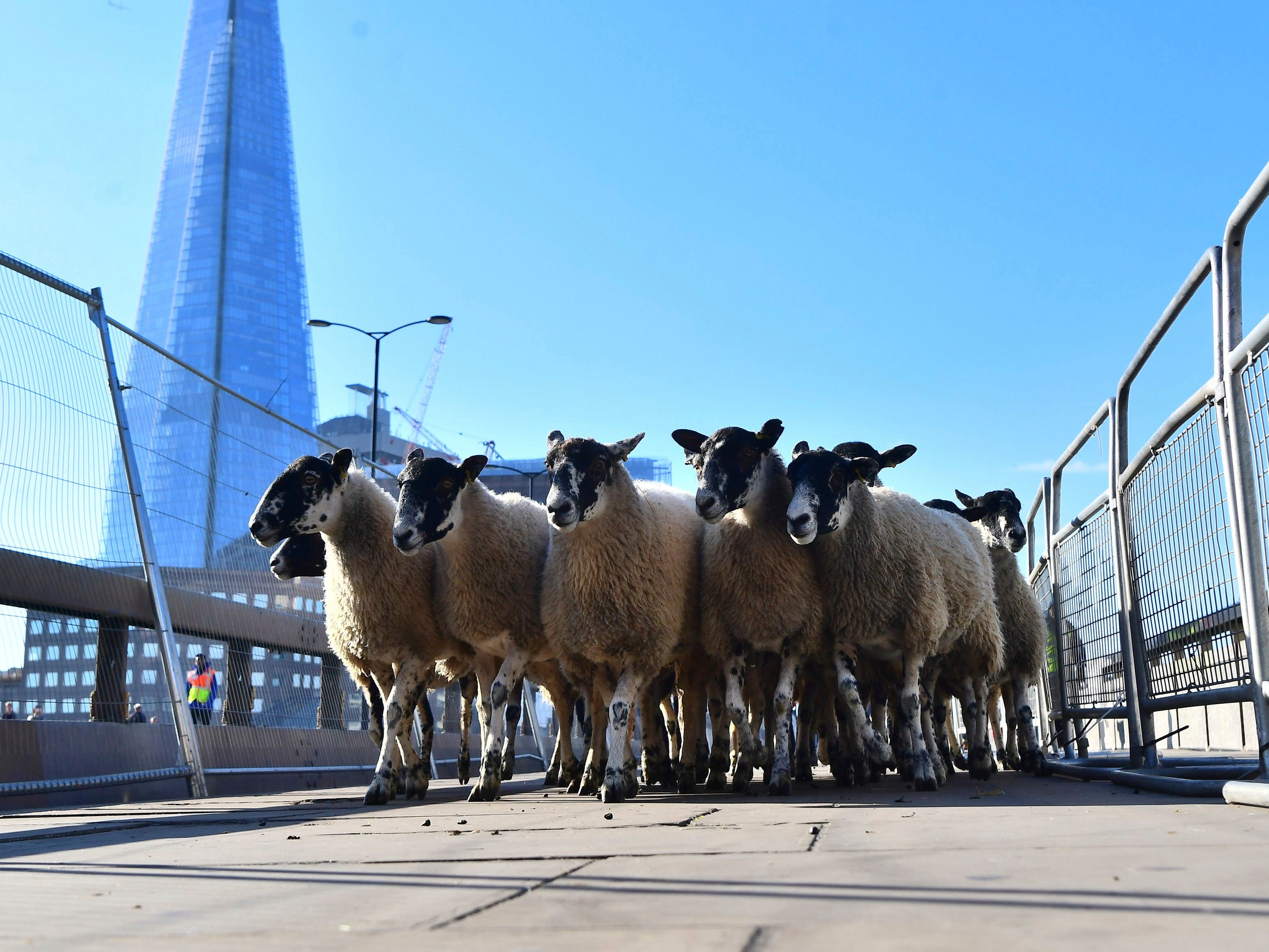 Freemen and Women of the City of London take up their historic entitlement to drive their sheep over London Bridge, Sunday, Sept. 30, 2018.