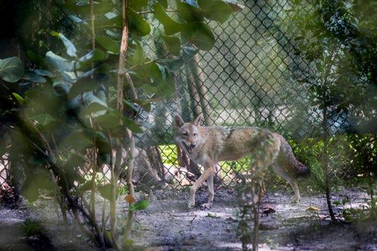 Lede Fnp 1003 Coyote
