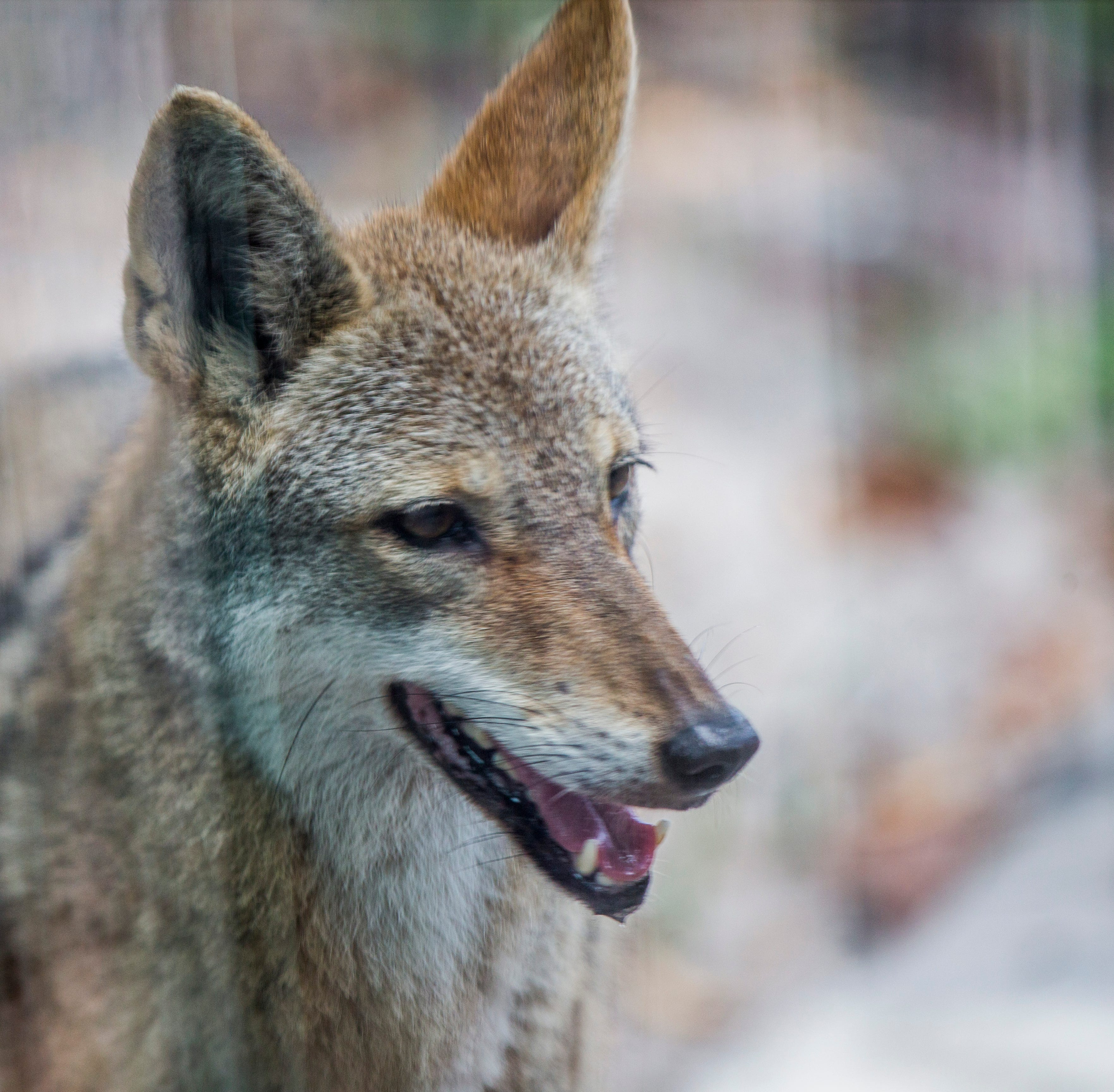 A coyote at the Naples Zoo at Caribbean Gardens on Thursday, Sept. 27, 2018.
