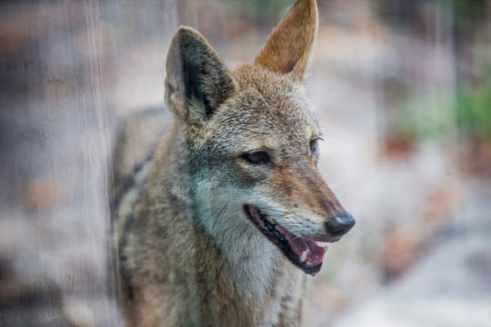 A coyote at the Naples Zoo at Caribbean Gardens. Zoo officials say this exhibit gives visitors the opportunity to learn both basic safety tips if a coyote is encountered in the wild as well as how to avoid attracting them to their yards.