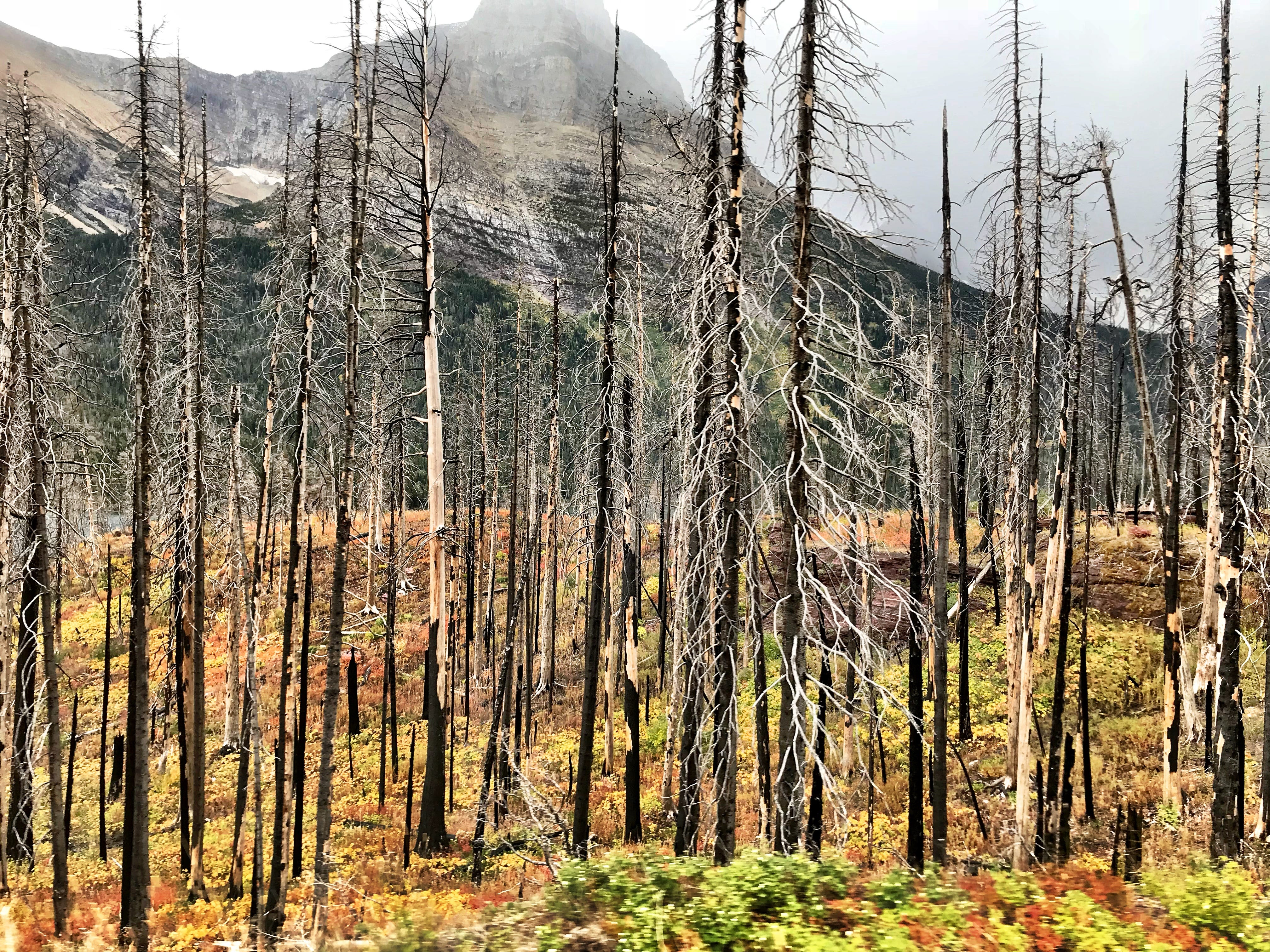 Fall colors amid a burned area in mid-September in Glacier National Park