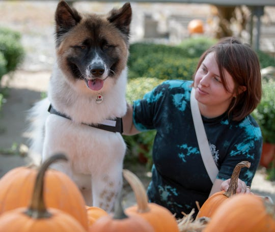Britney Wolfrum, with her akita Kiba, take a look at pre-picked pumpkins at a multi-station festival at Stony Creek Farm, Noblesville, Monday, Oct. 1, 2018. The farm which is hosting their 46th annual Pumpkin Harvest Festival, includes a hay ride to a pumpkin patch, a games, farm animal, and state fair style food, also includes a weekend-only haunted hay ride.
