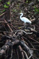 A snowy egret poses for a boat tour at Rookery Bay.
