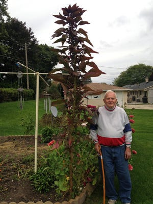 Roy Esselman stands next to a 10-foot-tall mystery plant in the garden of his Menomonee Falls home. He scattered seeds from a packet obtained from a bank and this giant stalk was among the flowers that sprouted.