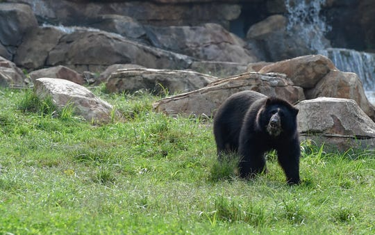 The Andean bear exhibit at Nashville Zoo has several vantage points for guests to view the bears.