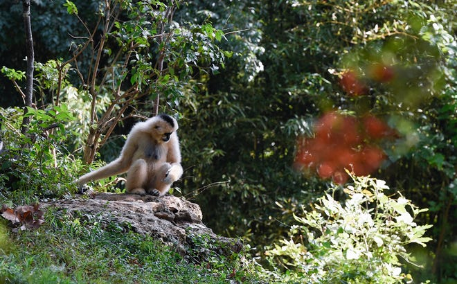 Nashville Zoo guests can view white-cheeked gibbons on Gibbon Islands.