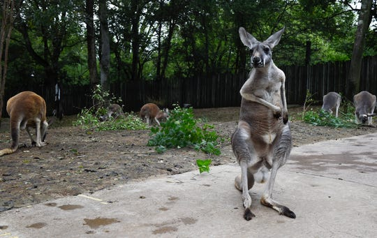 Nashville Zoo guests can pet and interact with kangaroos at the Kangaroo Kickabout during their visit.