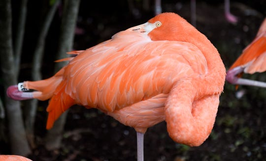 Nashville Zoo visitors can get close to the flamingo flock at their exhibit.