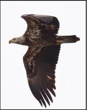 An immature bald eagle flying past State Line Lookout in Alpine.