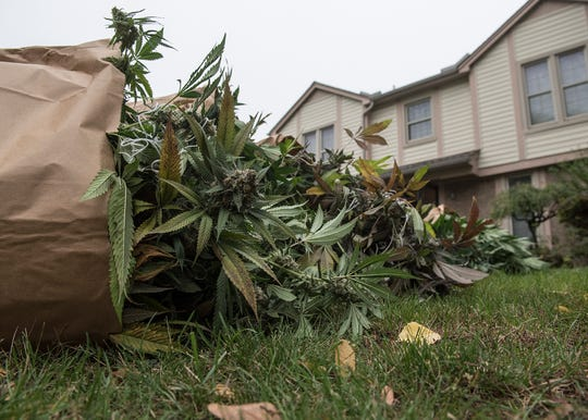 Bagged marijuana plants outside a house in Livonia in October are ready to be carted off as evidence. The homeowners, who were not involved in the grow operation, reached plea deals with Livonia on Thursday.