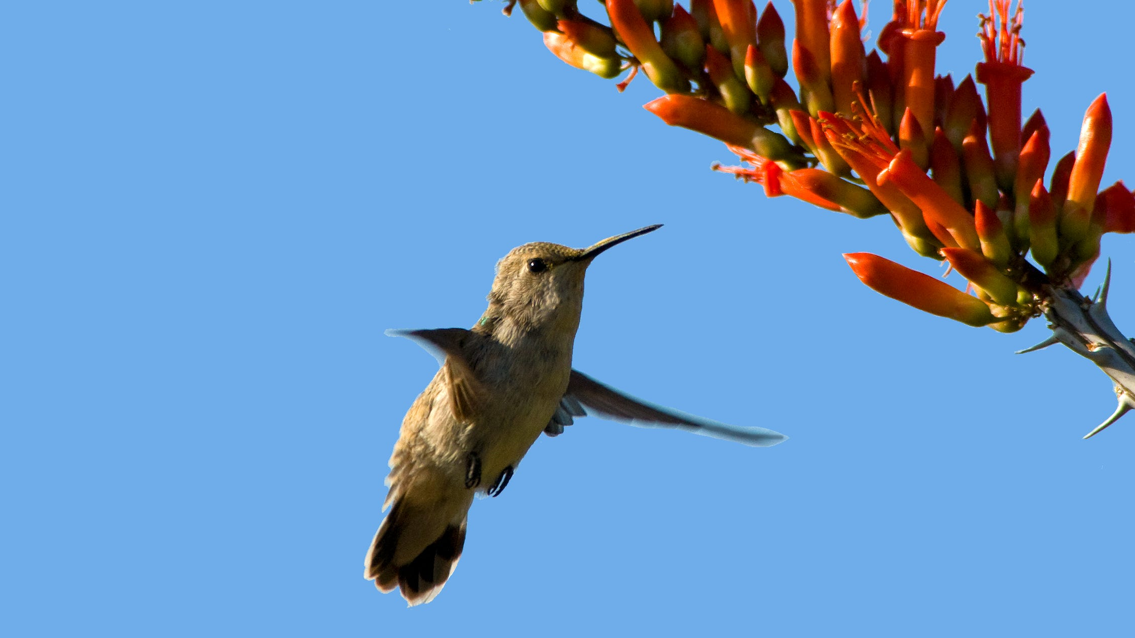 The Coachella Valley's hummingbirds are in trouble. Here's how you can help