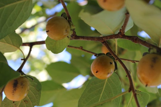 Persimmon fruit in a persimmon tree