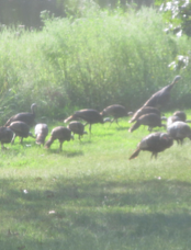 A flock of fall turkeys prior to opening day of the monthlong firearm season.
