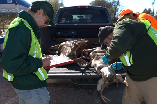 MDC conducts a mandatory sampling for CWD during deer opening season last year at Whetstone Creek Conservation Area in Williamsburg, Missouri.  Tissue from the deer's neck is removed for testing.