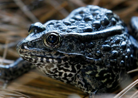 Ap Endangered Frog Louisiana Land A File Usa La