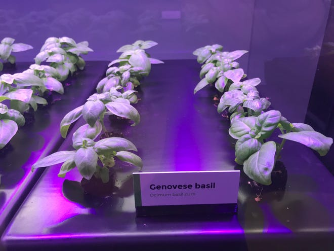 Bell Market is growing basil, mint and other herbs using an indoor hydroponics growing system.
