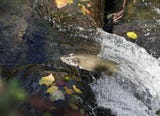 The remarkable journey of a salmon culminates in their spawning stream -- in this case, Chico Creek.