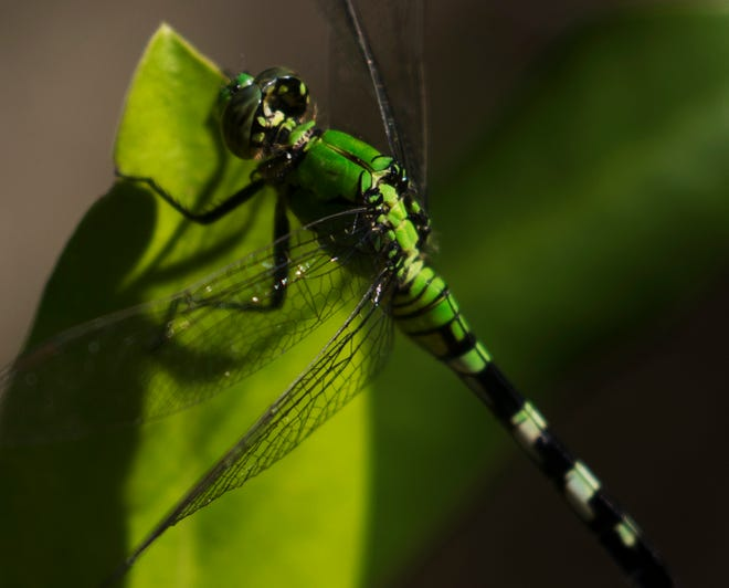 A dragonfly alights on a leaf in the Corkscrew Regional Ecosystem Watershed on Friday 9/14/2018. The South Florida Water Management District will give a presentation on the preserve Monday in Fort Myers.