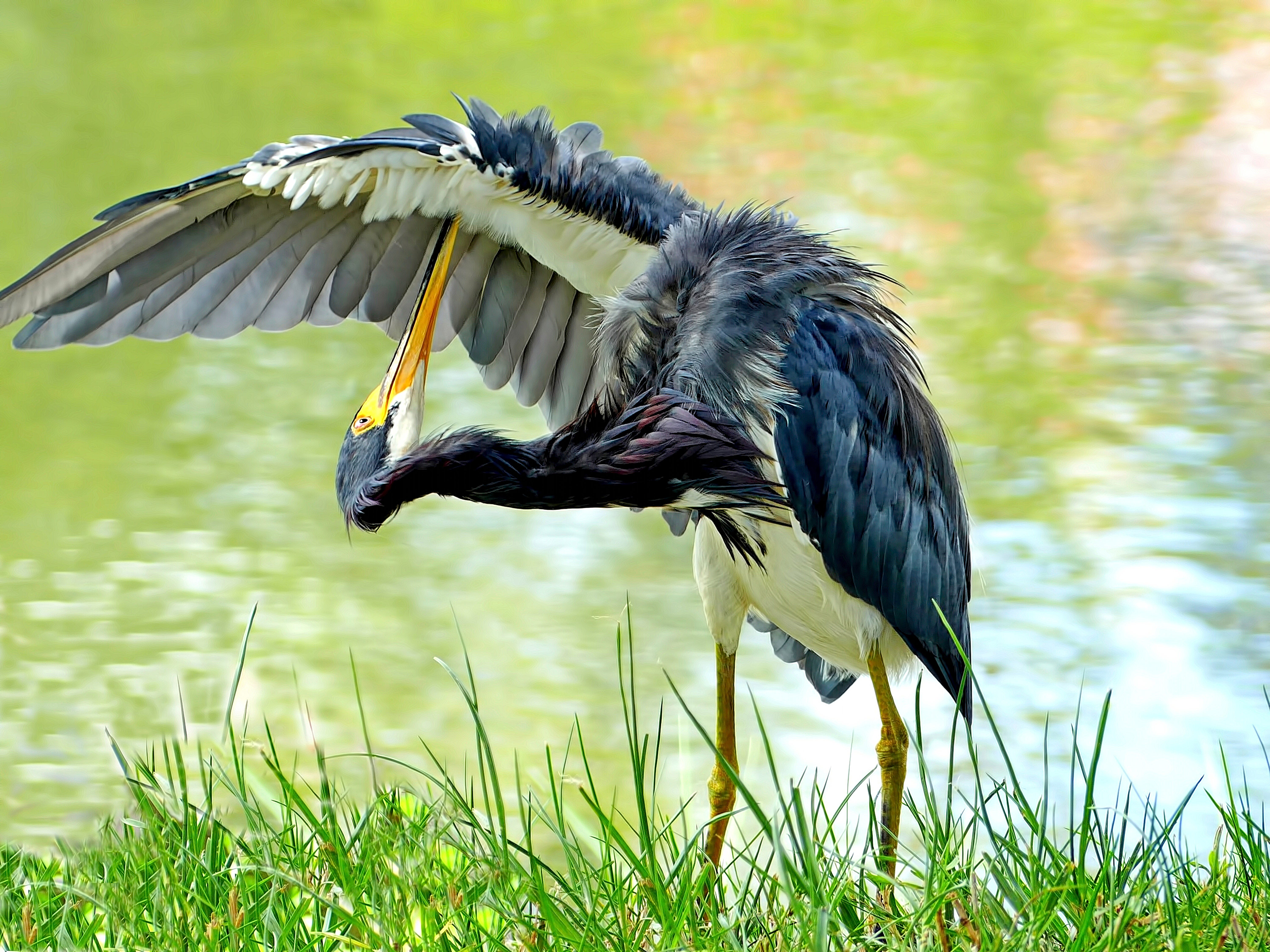 "Steve Rimar of Estero writes, ""Its only natural to keep yourself clean and all birds do this. A tricolor heron cleans and grooms its feathers. Taken in Fort Myers at a freshwater pond."""