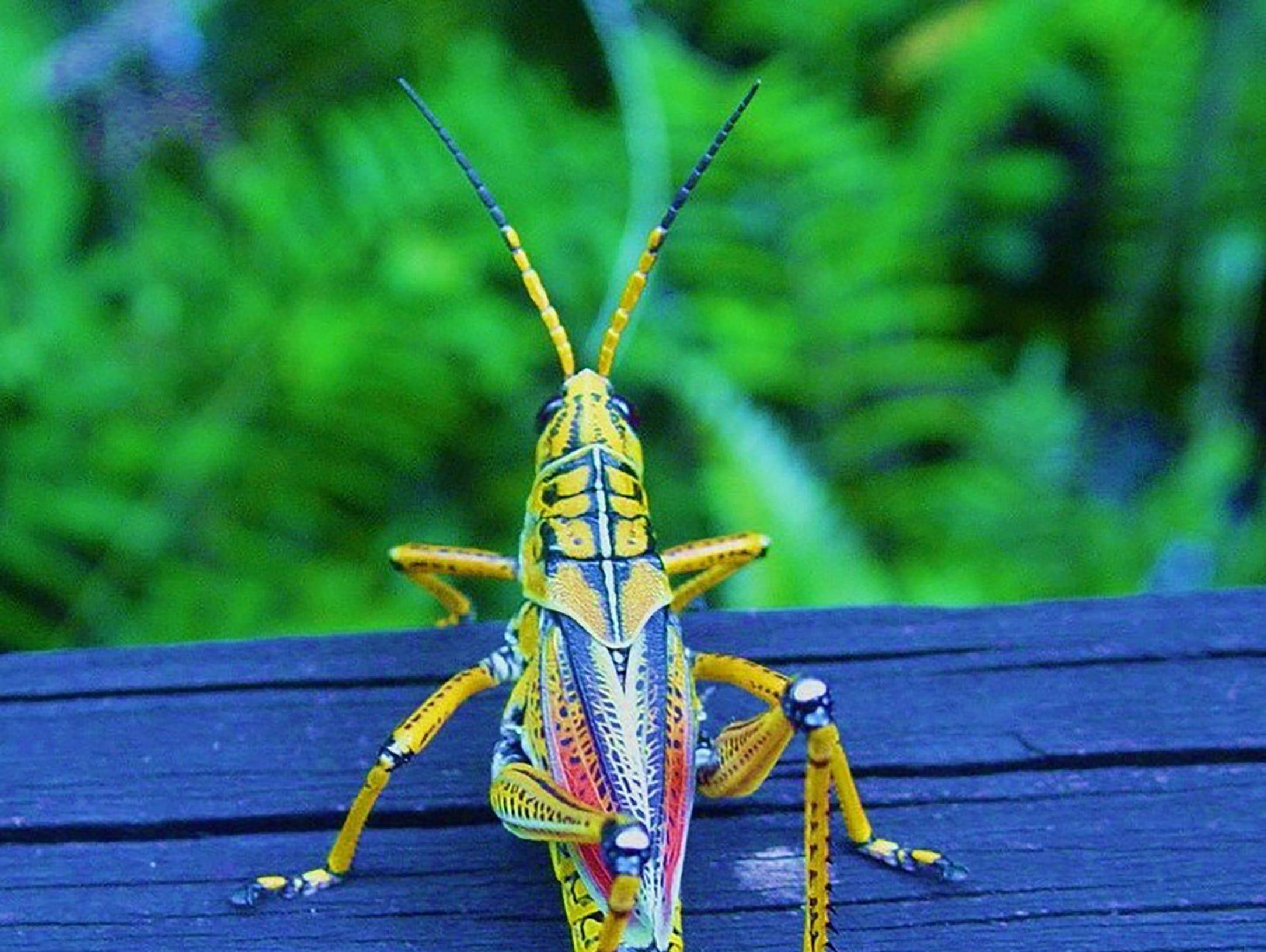 An eastern blubber grasshopper.