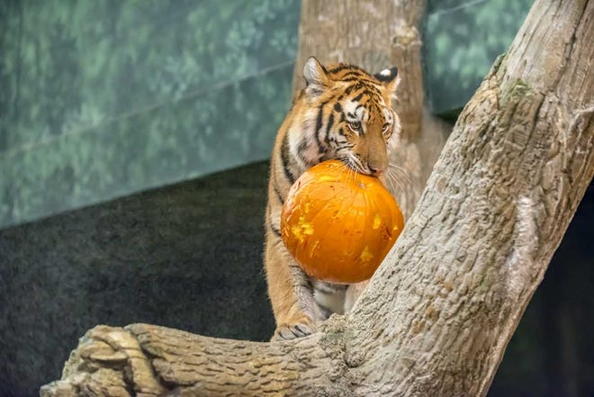 """""""Boo at the Zoo"""" runs from 6 to 9 p.m. Oct. 12-13. All zoo buildings will be open during the celebration, except for theHerb and Nada Mahler Family Aviary."""