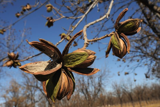 Pecans appear in a pecan orchard at NMSU's Leyendecker Plant Science Center south of Las Cruces.