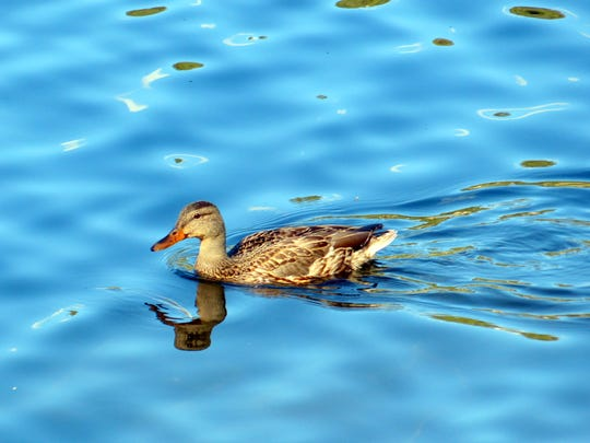 Ducks love to paddle on the lake and pick up a meal.