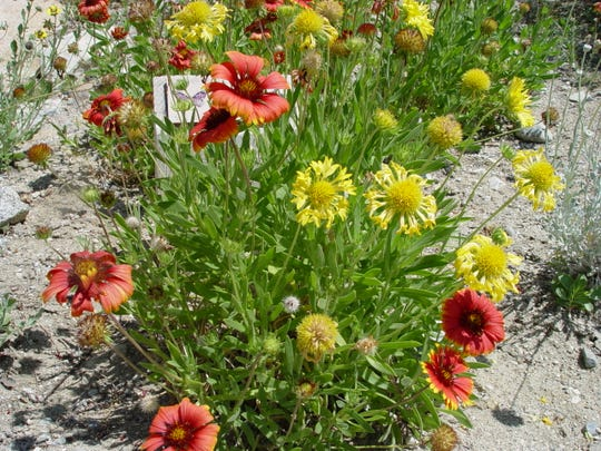 Most species of blanketflowers are bi-colored, but with over 30 hybrids, there is now a huge range of options.