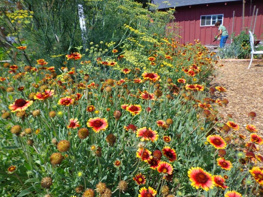 An established stand of blanketflower produces a dense mound of blooms.