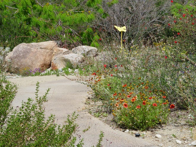Blanketflower with other desert perennials at the Living Desert show how densely they grow in very dry gardens.