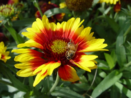 The lobed tips of the flared petals are the distinguishing shape of the blanketflower species.