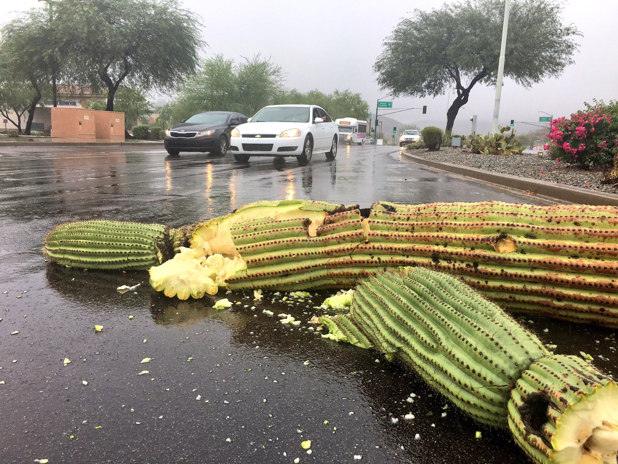 A cactus fell on the road on Chandler Boulevard. Remnants of Hurricane Rosa on Tuesday morning, bringing moderate rainfall and some flooding to the Valley.