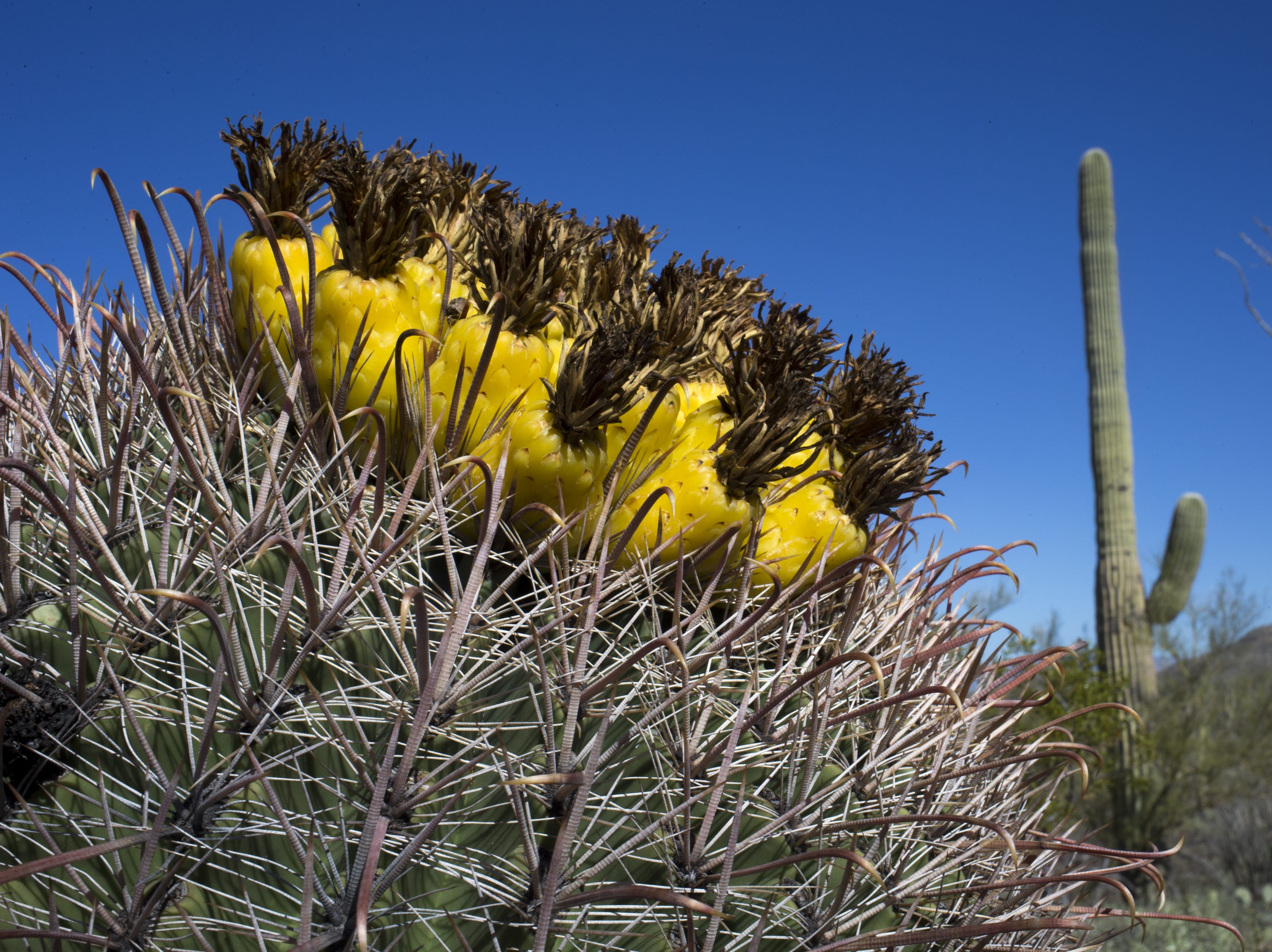 A cactus barrel is seen on the Wren Trail near Tucson.
