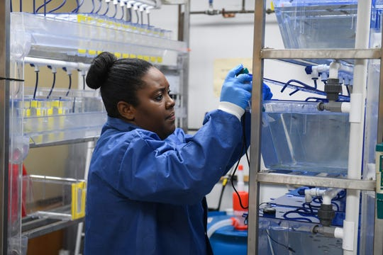 Toxicology PhD student Sherene Black works in the zebra fish lab on the University of Maryland Eastern Shore campus in Princess Anne on Tuesday, Oct 2, 2018.