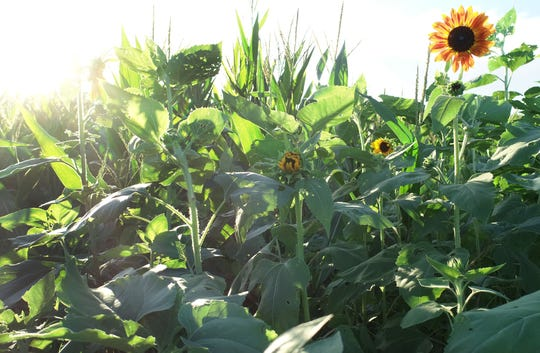 The corn maze at Countryside Citrus is surrounded by sunflowers and daisies.