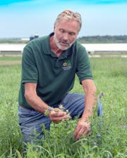 David Geiser checking the growth of a perennial forage stand on his Gold Star farmstead.