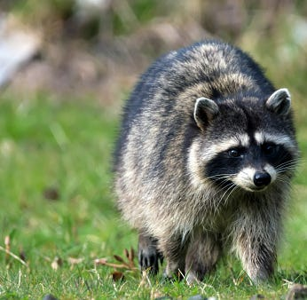 Raccoons infected with canine distemper, say Point Beach officials