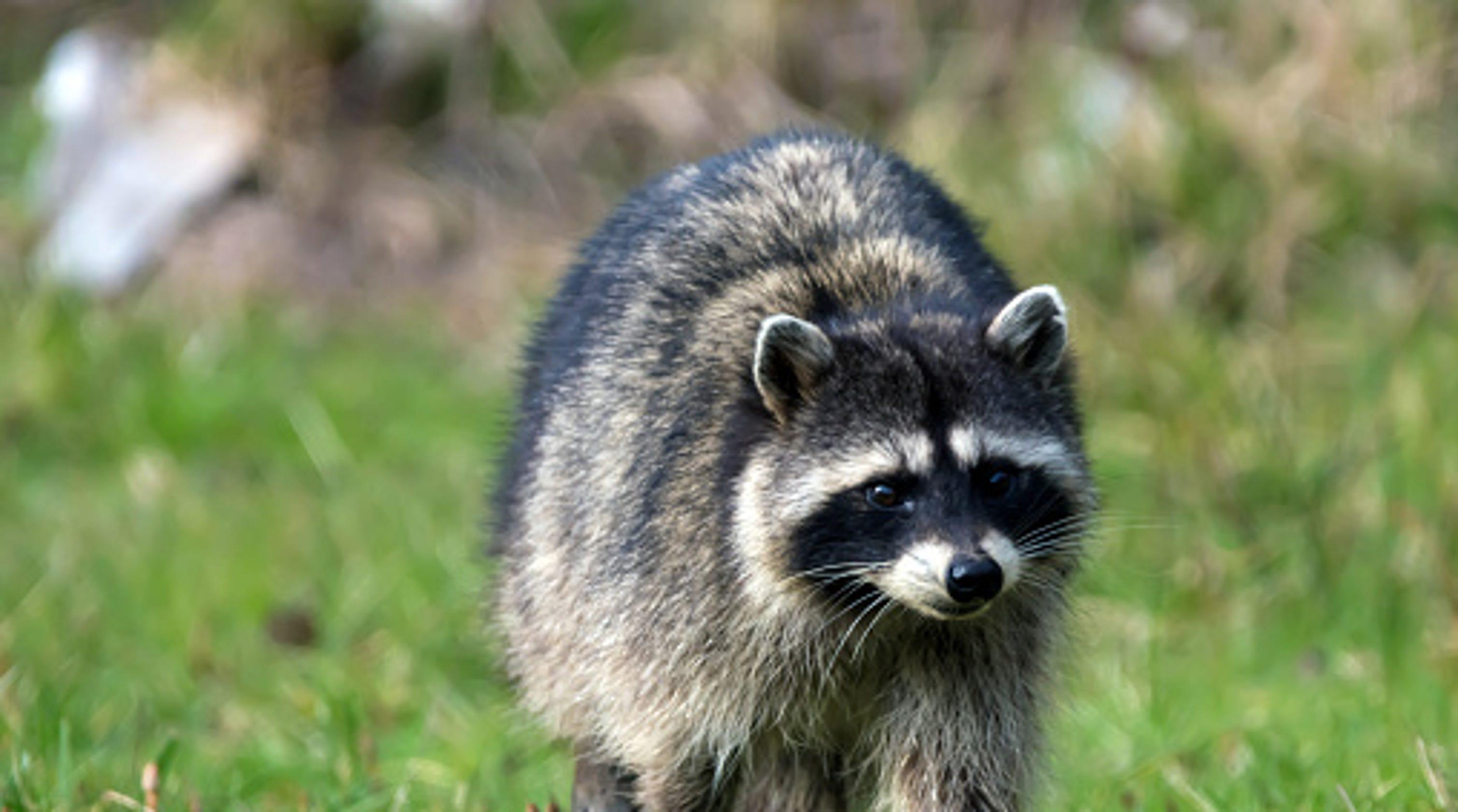 Florida police catch raccoon inside high school vending machine