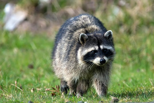 "An raccoon with distemper may be observed wandering aimlessly in the daylight. Sick raccoons have been described as appearing blind, drunk or ""zombie-like."""