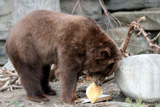A grizzly bear eats a Buddy's pizza made of honey, oranges and apples on Wednesday, Oct. 3, 2018 to celebrate the opening of a Buddy's Pizza at the Detroit Zoo in Royal Oak.