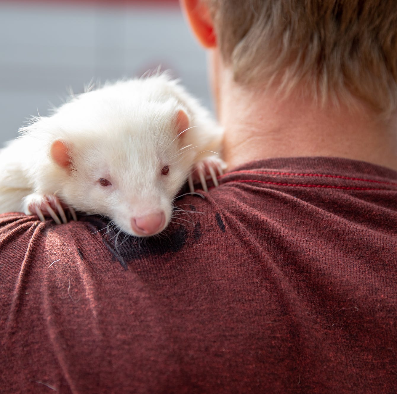 Here's why you might not want to snuggle the albino skunk you've seen around town