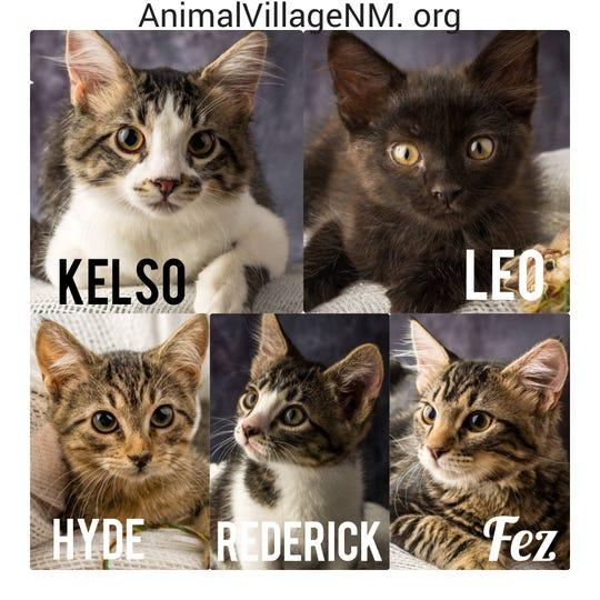 Adoptable kittens wait at Animal Village NM.