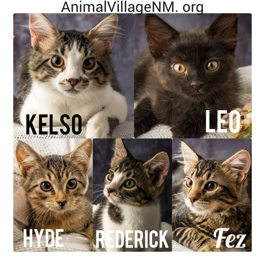 Adoptable kittens wait at Animal Village NM.