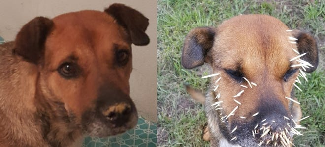 Princess Q was suffering with porcupine quills and starving when found with puppies.